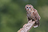 Tawny Owl (Strix aluco), adult perched on an old trunk, Campania, Italy