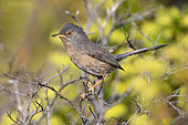 Dartford Warbler (Sylvia undata), side view of an adult male perched on a branch, Campania, Italy