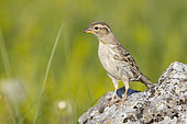 Rock Sparrow (Petronia petronia), adult standing on a rock, Abruzzo, Italy