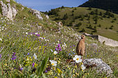 Common Quail (Coturnix coturnix), adult male on a mountain slope, Abruzzo, Italy