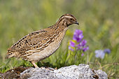 Common Quail (Coturnix coturnix), side view of an adult male standing on a rock, Abruzzo, Italy