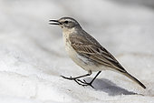 Water Pipit (Anthus spinoletta), side view of an adult standing on the snow, Abruzzo, Italy