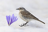 Water Pipit (Anthus spinoletta), side view of an adult standing on the snow close to a Crocus sp., Abruzzo, Italy