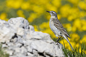 Water Pipit (Anthus spinoletta), side view of an adult standing on a rock., Abruzzo, Italy