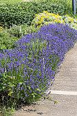 Lavandine (Lavandula hybrida) border in a garden in summer, Pas de Calais, France