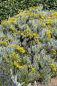 Lavender cotton (Santolina chamaecyparissus) in bloom in summer, Pas-de-Calais, France