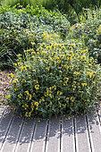 Jerusalem Sage (Phlomis fruticosa) in bloom in summer, Pas de Calais, France