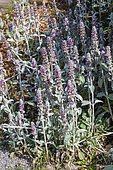 Woolly hedgenettle (Stachys byzantina) in bloom in summer, Pas de Calais, France