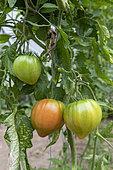 'Beef heart' tomatoes in a garden in summer, Pas de Calais, Franc
