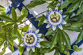 Bluecrown passionflower (Passiflora caerulea) in bloom in a garden in summer, Pas de Calais, France