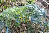 Protection net against snails on cabbages in summer, Pas de Calais, France