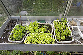 Salad plants in trays in a greenhouse in summer, Pas de Calais, France