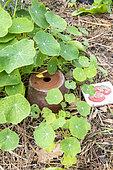 Porous clay watering pot (oya) in a garden in summer, Pas de Calais, France