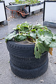 Rhubarb growing in a tyre container in a garden in summer, Pas de Calais, France