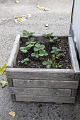 Strawberry plants growing in a wooden tray in summer, Pas de Calais, France
