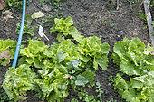 Protection net against snails on salads in summer, Pas de Calais, France