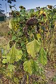 Sunflowers in seed in a garden, summer, Pas de Calais, France