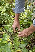 Harvesting green beans in a vegetable garden in summer, Pas de Calais, France