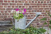 Ivy cranesbill in an old zinc watering can in summer, Pas de Calais, France