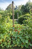 Raspberry tree in a garden climbing a pole in summer, Pas de Calais, France