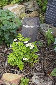 Chamomile in flower in a garden, summer, Pas de Calais, France