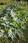 Powdery mildew on courgette foliage in summer, Pas de Calais, France