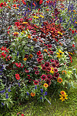 Mixed border in a garden in summer, Nord, France