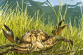 Male Mediterranean green crab (Carcinus aestuarii), in a dwarf eelgrass meadow (Zostera noltei), protected species in the PACA region (decree of 9 May 1994). Etang du Clos de la Comète, Salins d'Aigues-Mortes, Bouches du Rhône, France