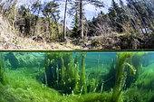 Aquatic vegetation in a water reservoir of the Defence des Forêts Contre l'Incendie (DFCI), in the lodévois-Larzac, Hérault, Occitanie, France