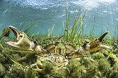 Pair of Mediterranean green crabs (Carcinus aestuarii), during the breeding season, the male walks the female between his claws while waiting for her to moult, Etang du Clos de la Comète, Salins d'Aigues-Mortes, Bouches du Rhône, France.
