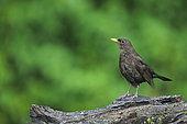 Blackbird (Turdus merula) on a stump, France