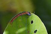 Juvenile Jungle Centipede (Scolopendra subspinipes) with Pentatomoid (Pentatomoidea Superfamily) nymph prey on leaf, Saba, Gianyar, Bali, Indonesia