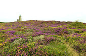Flowering heath, heather and gorse, Cap Frehel, Brittany, France