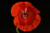 Poppy flower (Papaver rhoeas) on black background