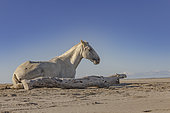 Camargue horse resting near a floating tree trunk on a beach in the Camargue, France