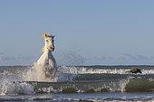 Camargue Horse running in the waves, near a beach in Camargue, France