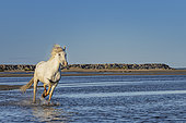 Camargue horse galloping in the water of a pond, near a beach in the Camargue, France