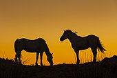 Camargue horses on a dune, silhouette against the light, Camargue, France