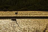 Greater Flamingo (Phoenicopterus roseus) at sunset, Pont-de-Gau ornithological park, Camargue, France