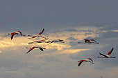 Greater Flamingos (Phoenicopterus roseus) flying against the sun at sunset, Pont-de-Gau ornithological park, Camargue, France