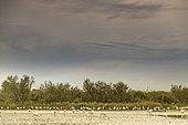 Greater Flamingos (Phoenicopterus roseus) in a marsh at dusk, Pont-de-Gau ornithological park, Camargue, France