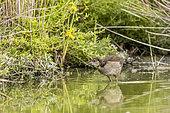 Young moorhen (Gallinula chloropus) in a marsh, Parc ornithologique de Pont-de-Gau, Camargue, France.