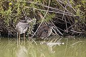 Young moorhens (Gallinula chloropus) in a marsh, Parc ornithologique de Pont-de-Gau, Camargue, France.