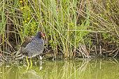 Moorhen (Gallinula chloropus) in a marsh, Parc ornithologique de Pont-de-Gau, Camargue, France.
