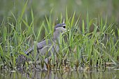 Night heron (Nycticorax nycticorax) on the lookout in a reed bed, France