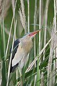 Little Bittern (Ixobrychus minutus) perched on thin reed stems, France