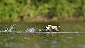 Great Crested Grebe (Podiceps cristatus) take-off run, la Dombes, France