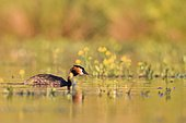 Great Crested Grebe (Podiceps cristatus) swimming among flowers at spring, la Dombes, France