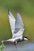 Whiskered tern (Chlidonias hybrida) in flight, France