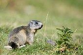 Alpine Marmot (Marmota marmota) eating in a meadow, Pyrenees, France